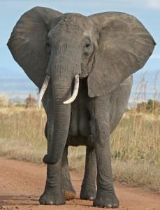 African_Bush_Elephant_1-229x300